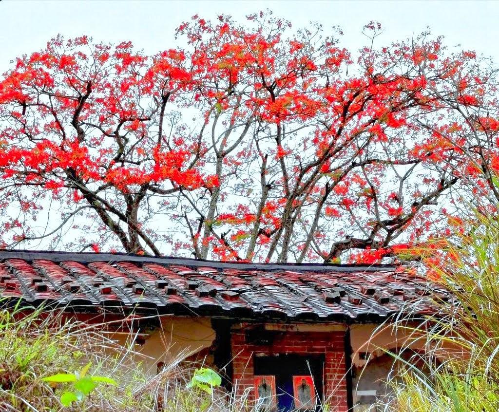 火紅花朵×月世界×老厝×大樹|左鎮最美鳳凰花開了!