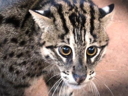 Fishing Cat Conservation in Andhra Pradesh
