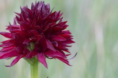 [Orchidaceae] Nigritella nigra rhellicani – Vanilla Orchid (Moretta, Vaniglia d'Alpe)