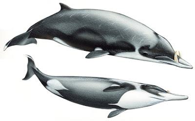 Mesoplodon layardii
