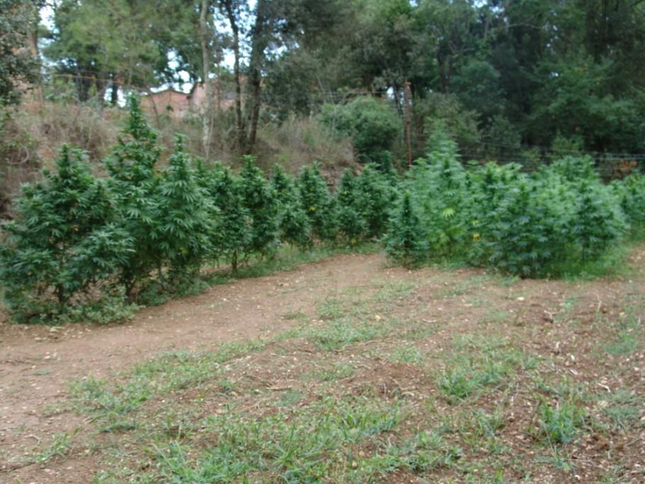 Manual De Cultivo De Marihuana Septiembre 2011