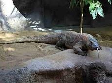 Komodo , Sang Kadal Pengamat Tetapi Juga Pernah Disebut Buaya Darat