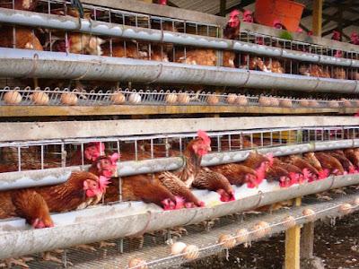 Cara Pengaplikasian Viterna Plus dan POC Nasa untuk Ayam Petelur
