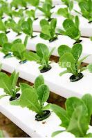hidroponik,pertanian,budidaya tanaman,usaha pertanian,lmga agro