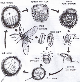 Jenny's insect corner: Scale insects