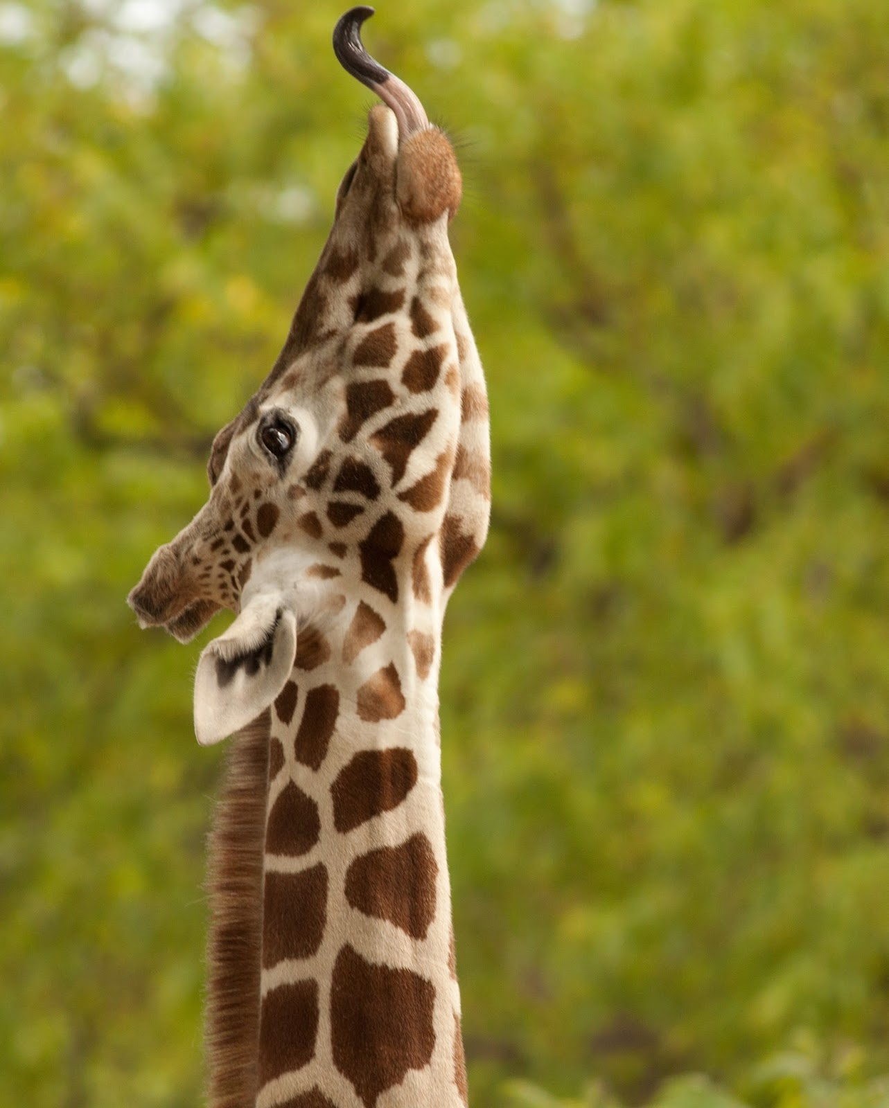 Picture of a giraffe with it's tongue out.