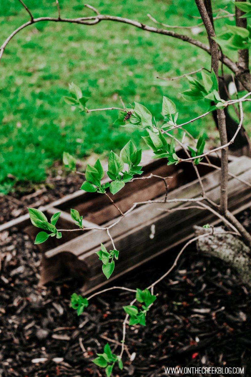 Spring leaves on a white lilac bush/tree!