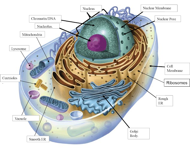 South Pontotoc Biology: Plant and Animal Cell Diagrams