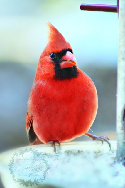 A pair of cardinals visiting the feeder on this chilly fall day; makes me think of Christmas.
