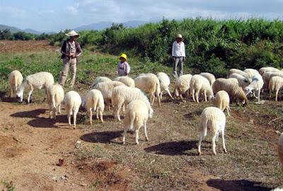Nuôi cừu mau lớn, đơn giản và ít tiền