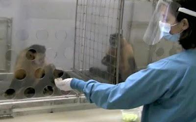 Desarrollan terapia inmunológica en monos para controlar el VIH.