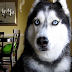 This Husky Talks Like a Human