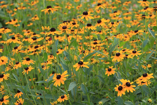 Black eyed susans in the prairie