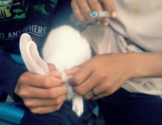 Penyakit kelinci yang menular pada manusia