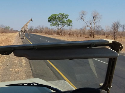A giraffe in Zambia