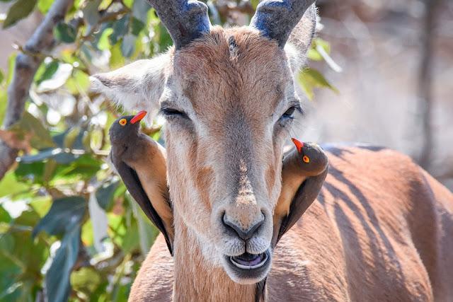 антилопа импала слушает двух окспекеров