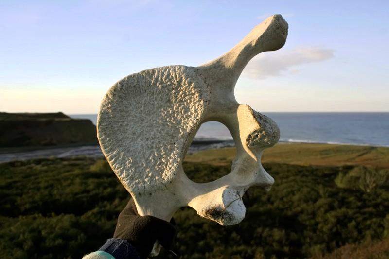 позвонок кита камчатка