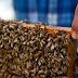 كوبا تجربة فريدة في تربية النحل