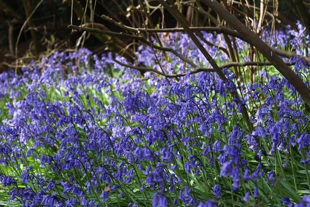 bluebells at riverhill himalayan gardens