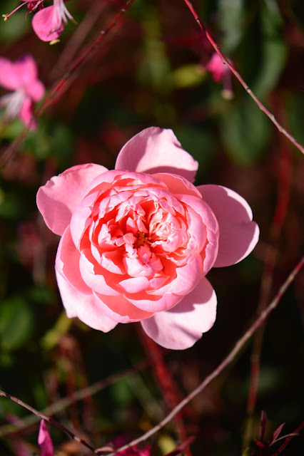 amy myers, small sunny garden, desert garden, photography, the alnwick rose