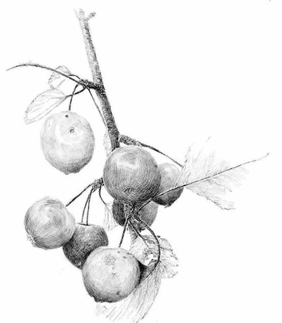 contoh-menggambar-model-tumbuhan
