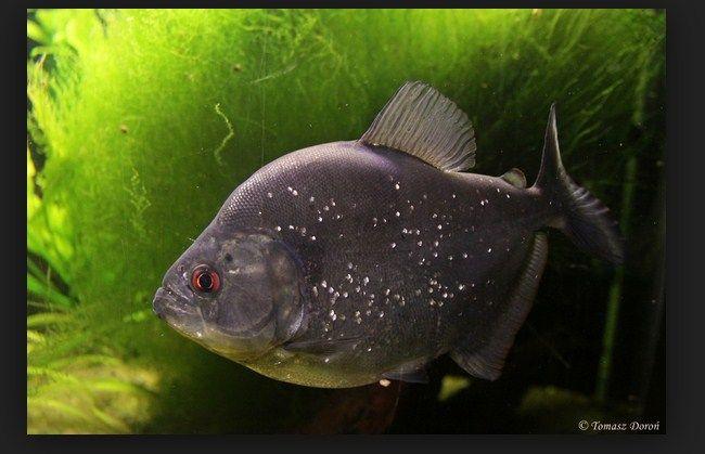 harga ikan piranha