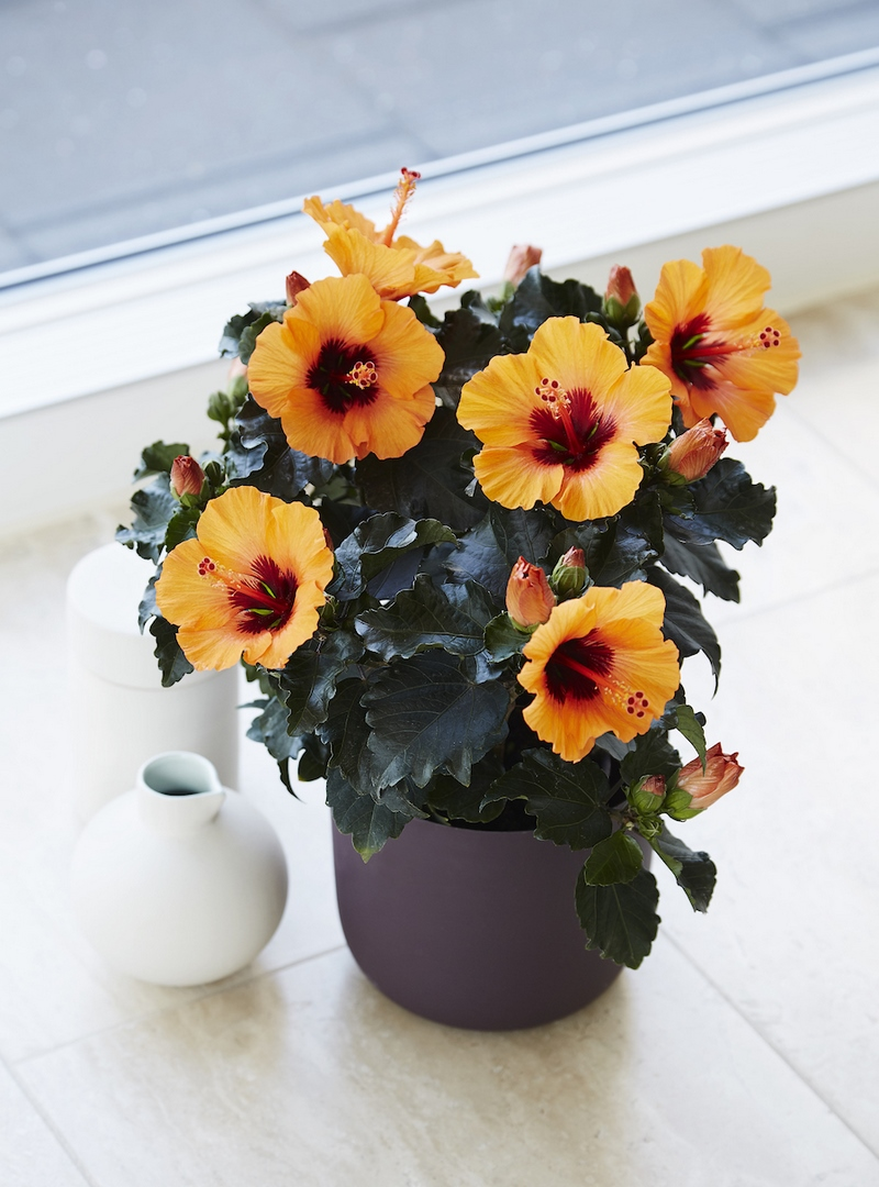 Hibiscus Petit Orange (Scotts Miracle Growers)