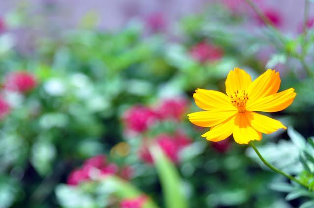 Hoa Vàng trên cỏ xanh