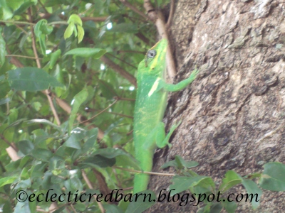 Eclectic Red Barn: Florida Green Gecko on Tree