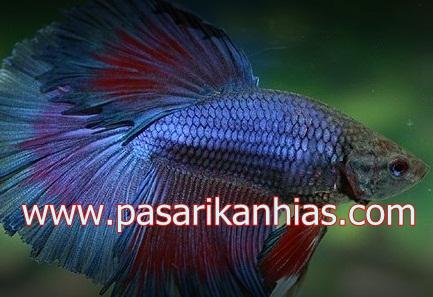 Ikan hias air tawar cupangbetta fish