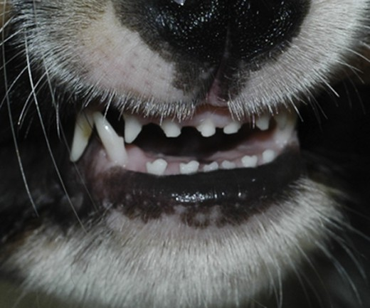 How to easily determine dog age by his teeth the modern bark dog puppy front milk teeth ccuart Image collections