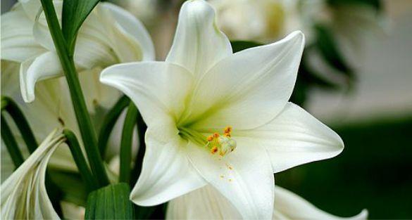الزنبق – Lily