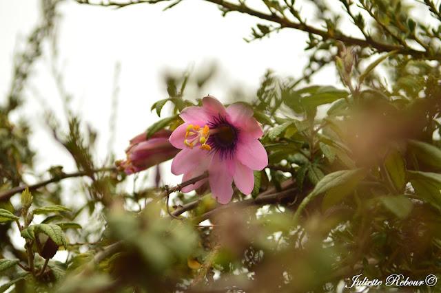 Fleur au Pérou