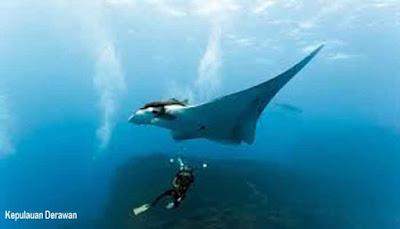 Ikan Pari Kepulauan Derawan