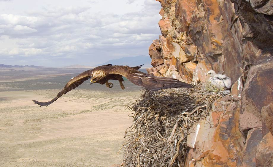 the description of the golden eagle and its habitat Golden eagle description the golden eagle has a wing span of between 180 golden eagle habitats golden eagles prefer mountainous, often treeless.