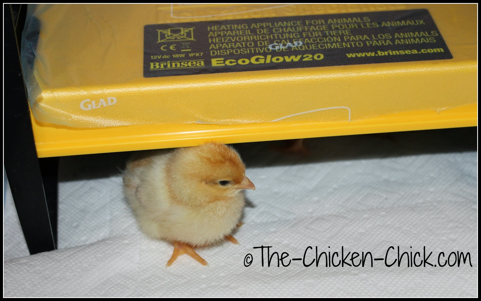 Brinsea EcoGlow Brooder keeps chicks warm without overheating them.