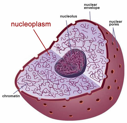 Nucleus diagram