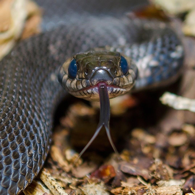 Melanistic Eastern Garter Snake