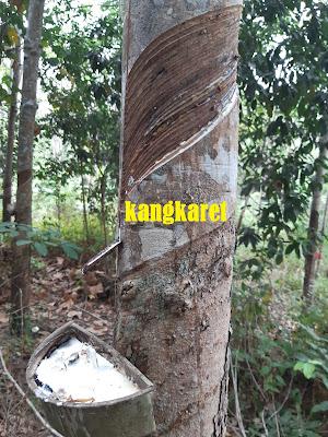 https://www.kangkaret.com/2019/12/cara-menyadap-pohon-karet-yang-baik-dan.html