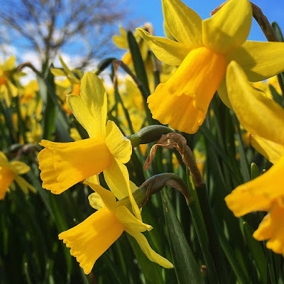 Daffodils in the March sunshine