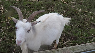 Photograph of white, horned goat.
