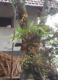 Cara Menanam Anggrek Macan Di Pohon Mangga