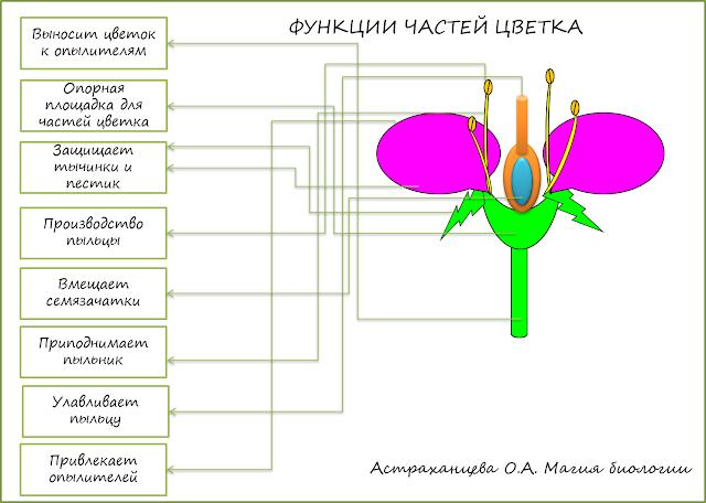 funkcii-chastej-cvetka-labirint