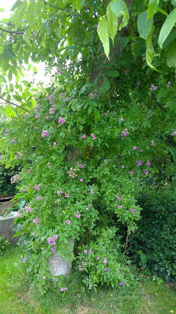 Rambler Rose Marie Vieaud am Walnußbaum hinterm Schneckenzaunbeet (c) by Joachim Wenk