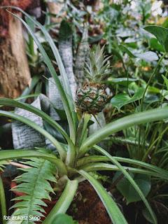 ananas rosnący w palmiarni