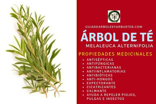 El árbol de te tiene propiedades medicinales antisépticas, antibacterianas, expectorantes entre otras