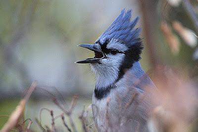 Arrendajo azul, Blue Jay (Cyanocitta cristata)