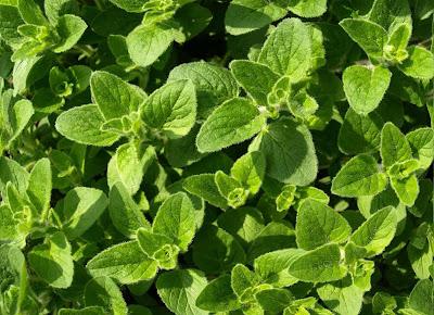 oregano-substitute-fresh-coriander-cilantro
