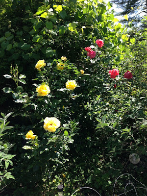 Sunsprite and Camelot roses