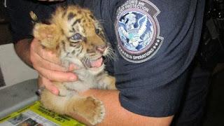 Penyelundupan anak harimau bengal